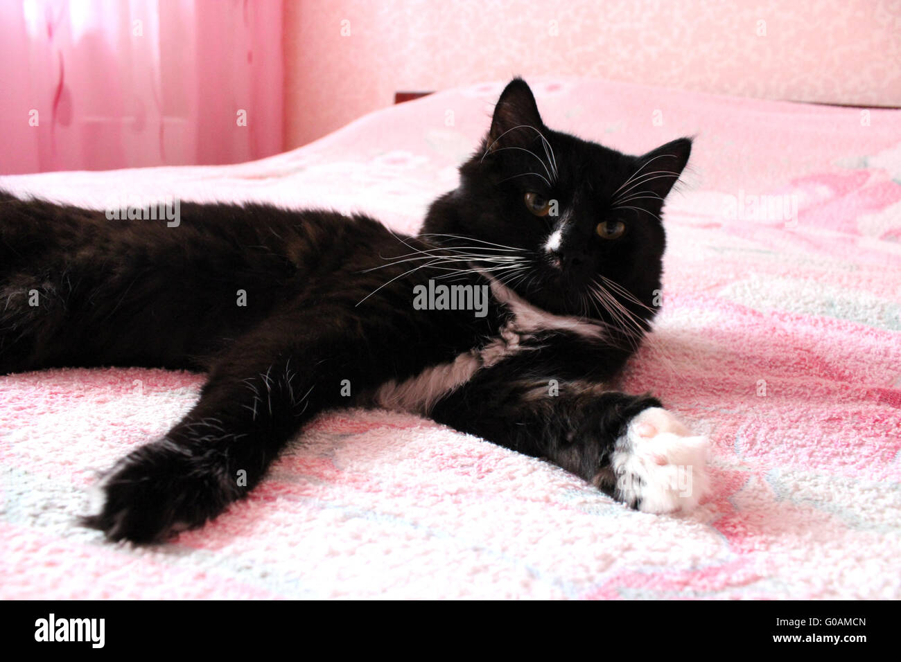 black cat lying prone on the pink matrimonial bed - Stock Image