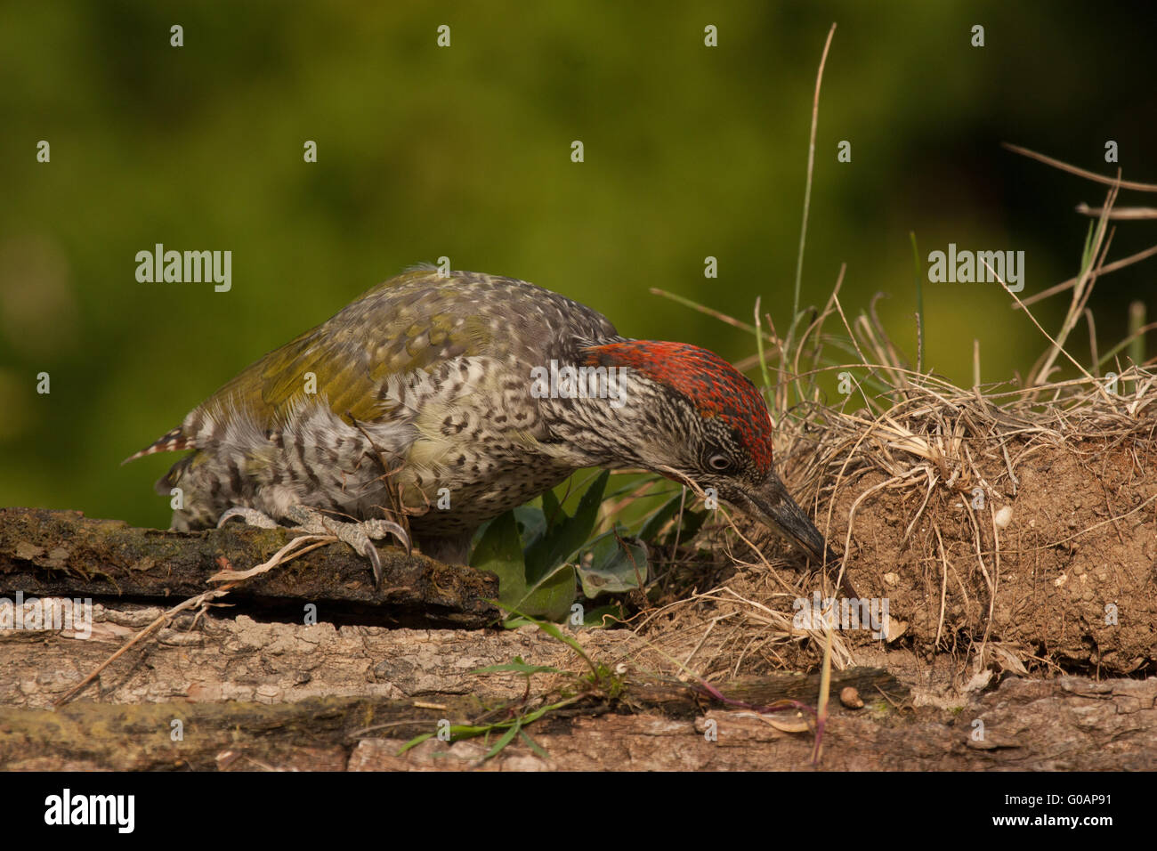 Young green woodpecker looking for ants - Stock Image