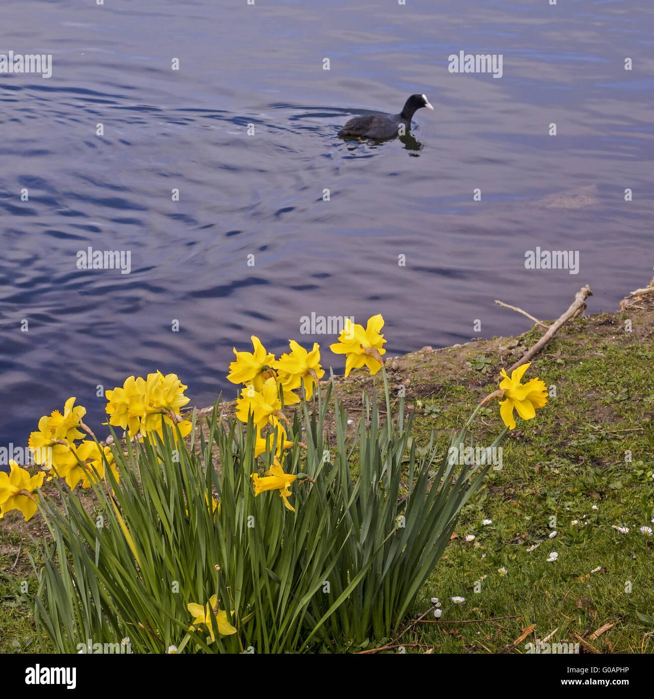 Coot Swimming Passed The Daffodils Caversham Readi - Stock Image