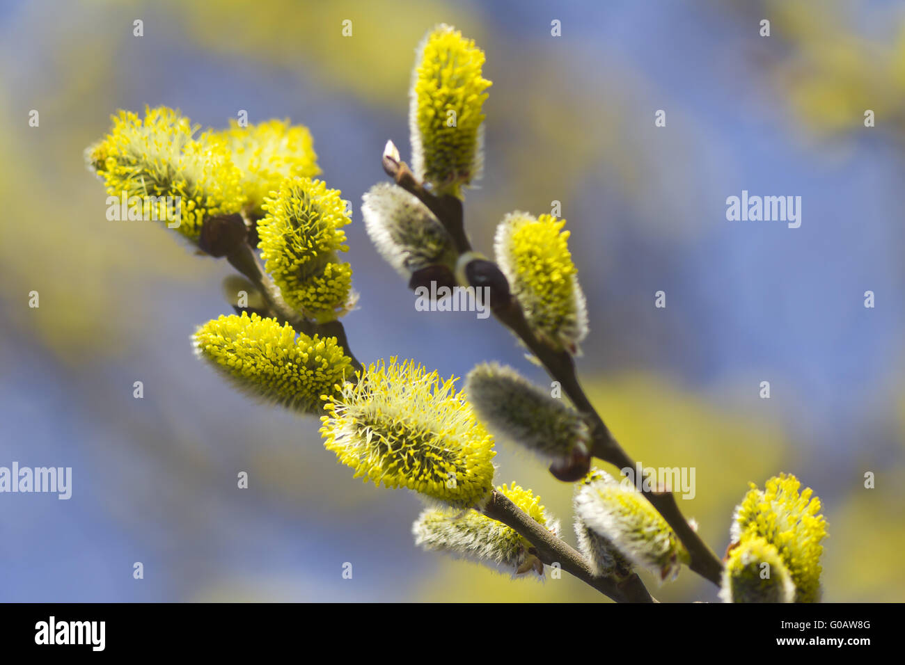 Blossoming branches of a willow. - Stock Image
