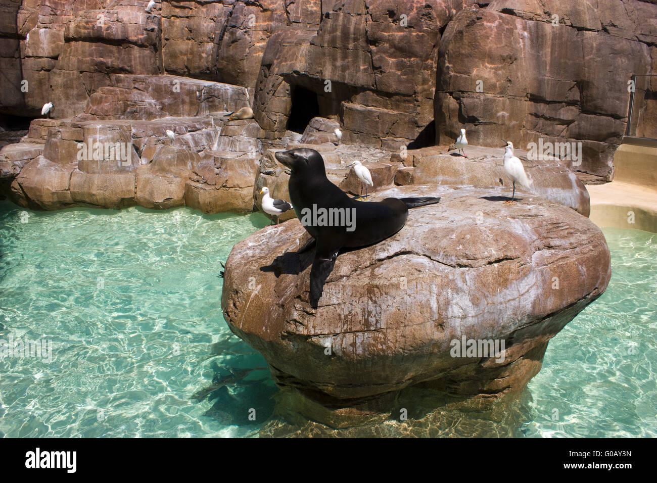 Sea lion - Stock Image