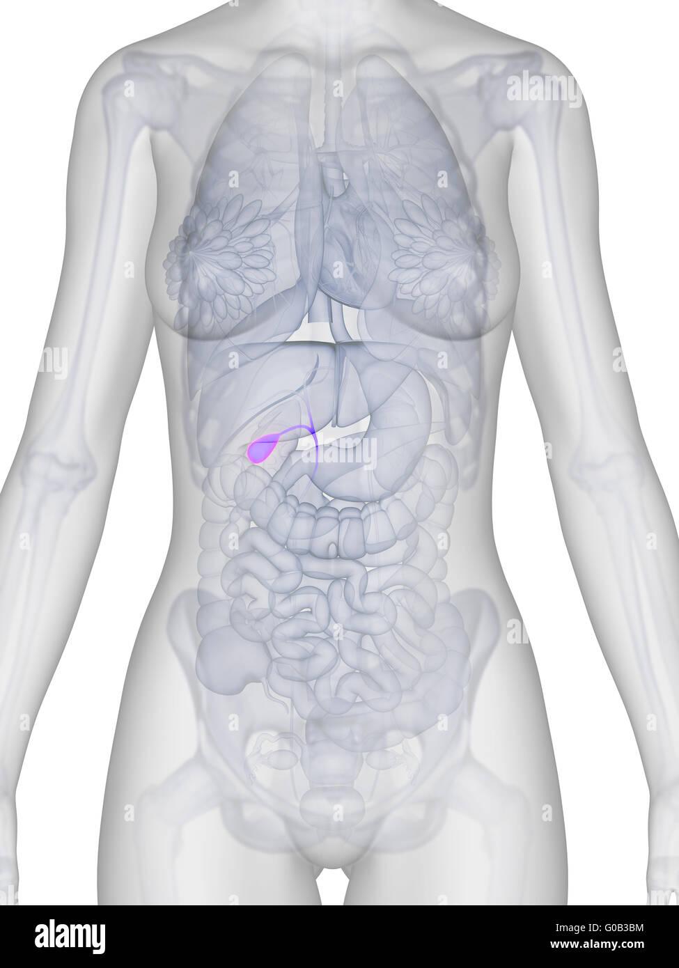 Health Science Anatomy Body Physiology Human Female Organs Stock
