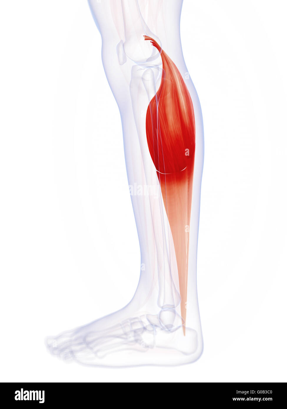 3d Rendered Illustration Of The Gastrocnemius Muscle Stock Photo