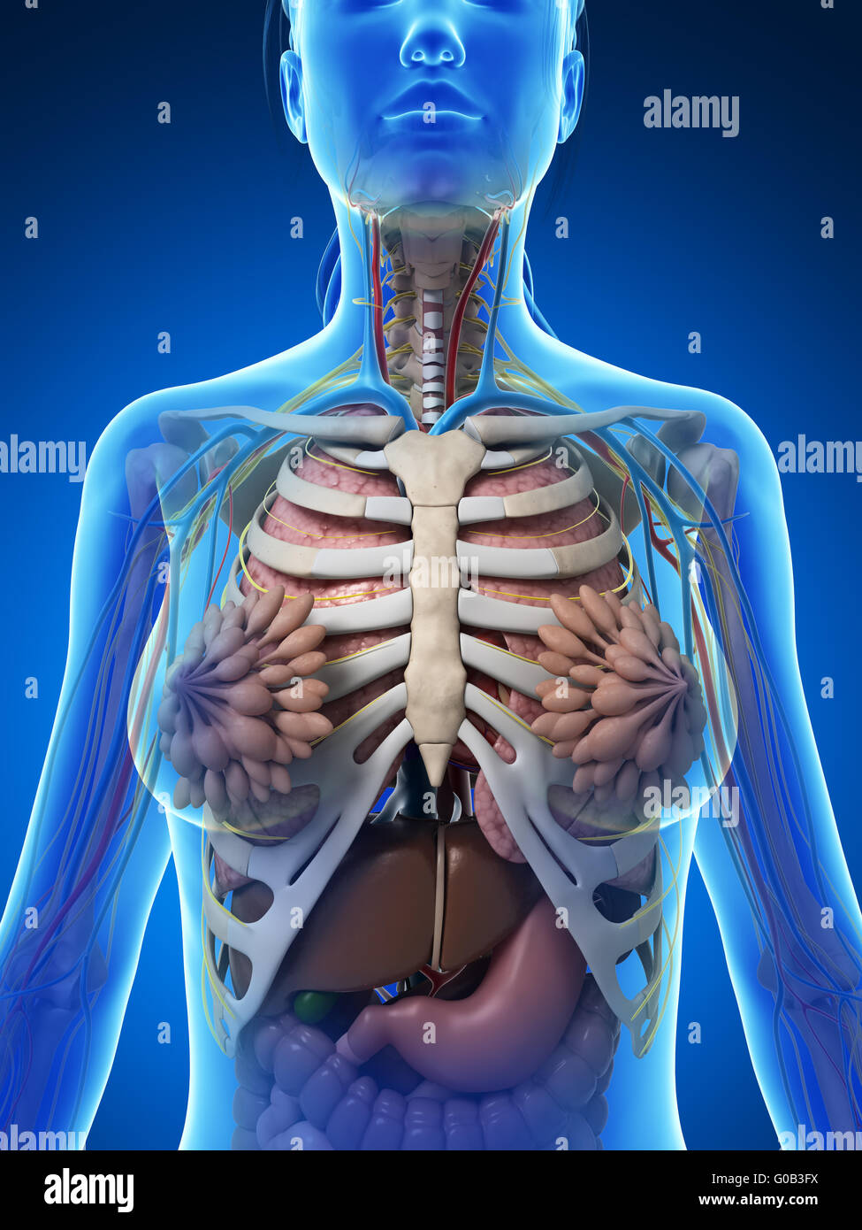 Anatomical Diagram Heart Stomach Stock Photos Anatomical Diagram