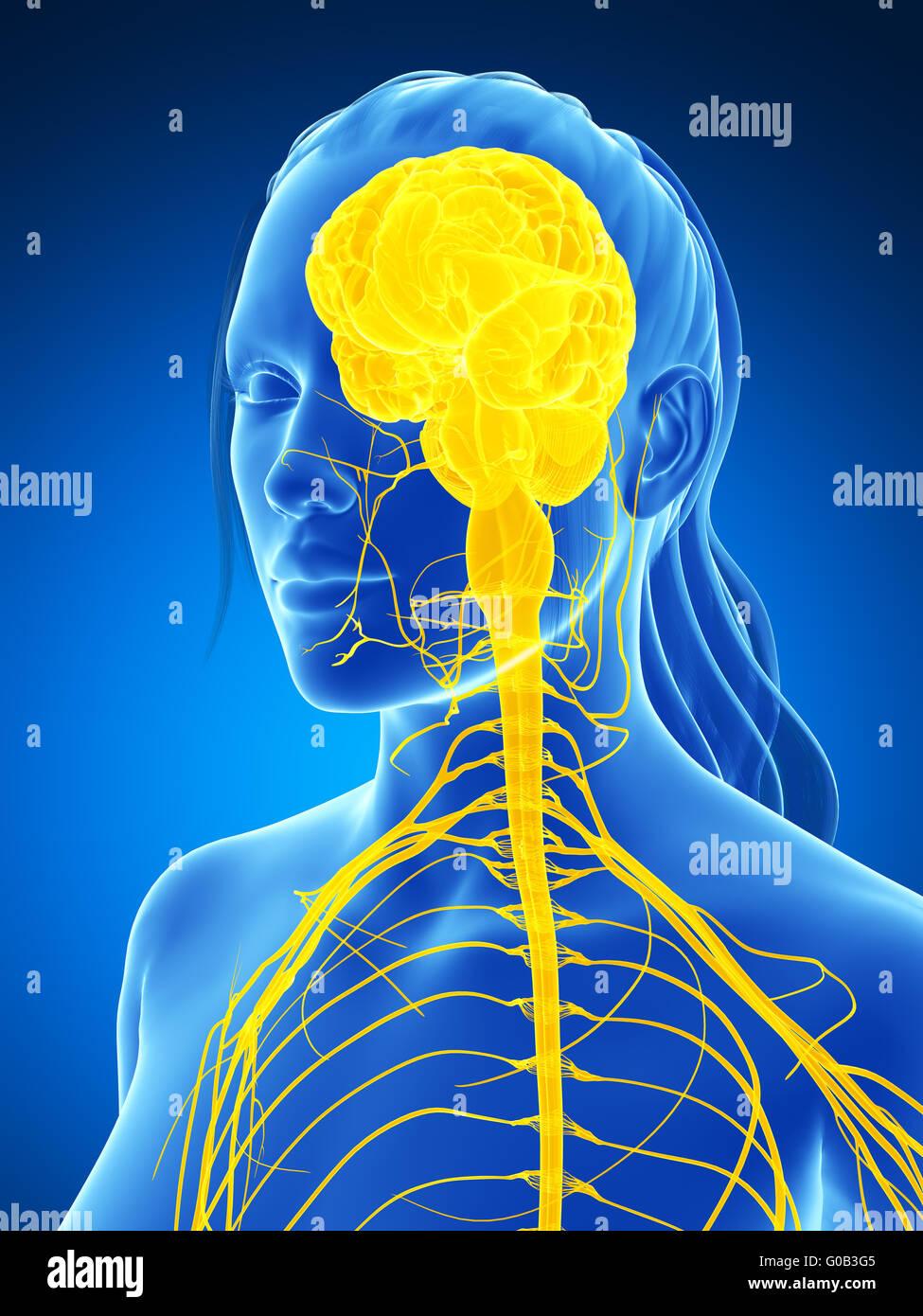 3d rendered illustration of the female nervous system - Stock Image