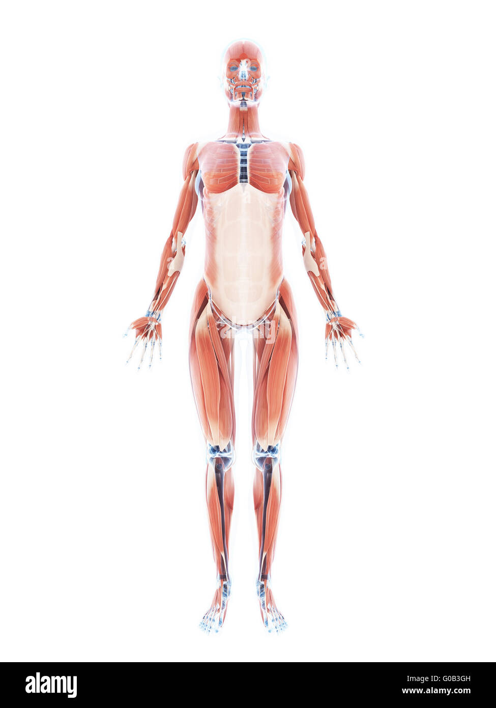 3d rendered illustration of the female muscle system Stock Photo ...