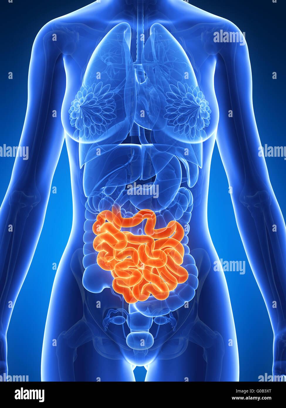 Inflamed Bowel Disease Stock Photos & Inflamed Bowel Disease Stock ...