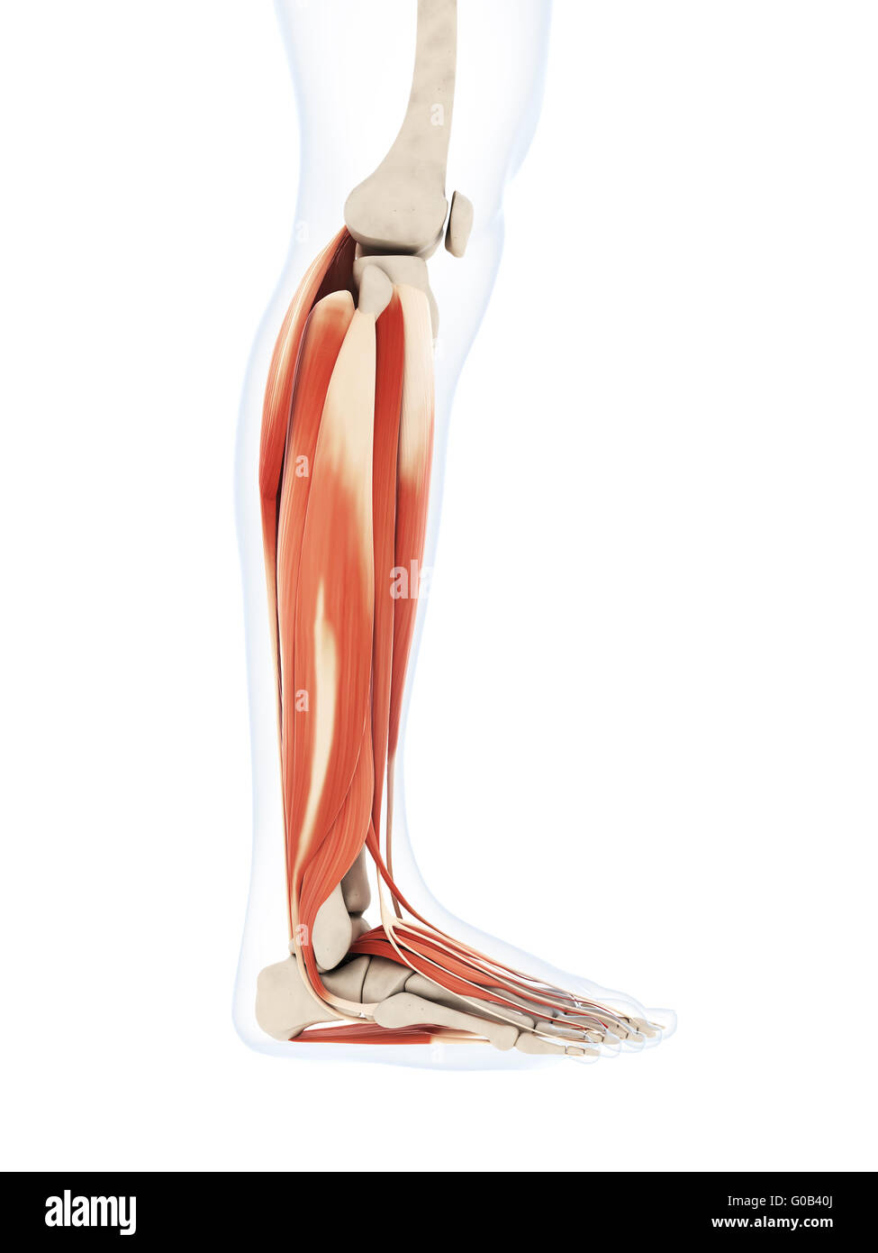 3d rendered illustration of the lower leg muscles Stock Photo ...