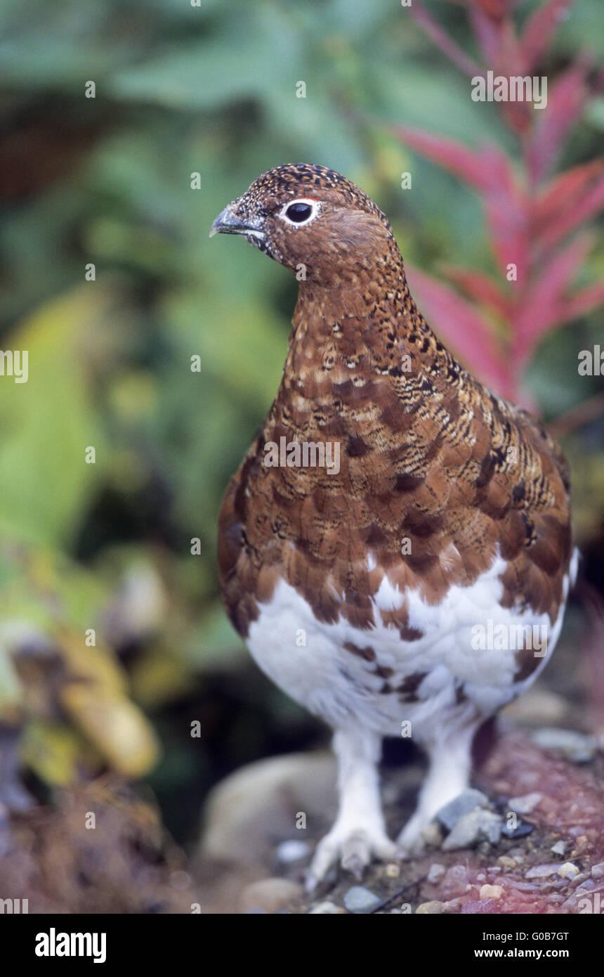 Willow Ptarmigan observing alert the environment - Stock Image