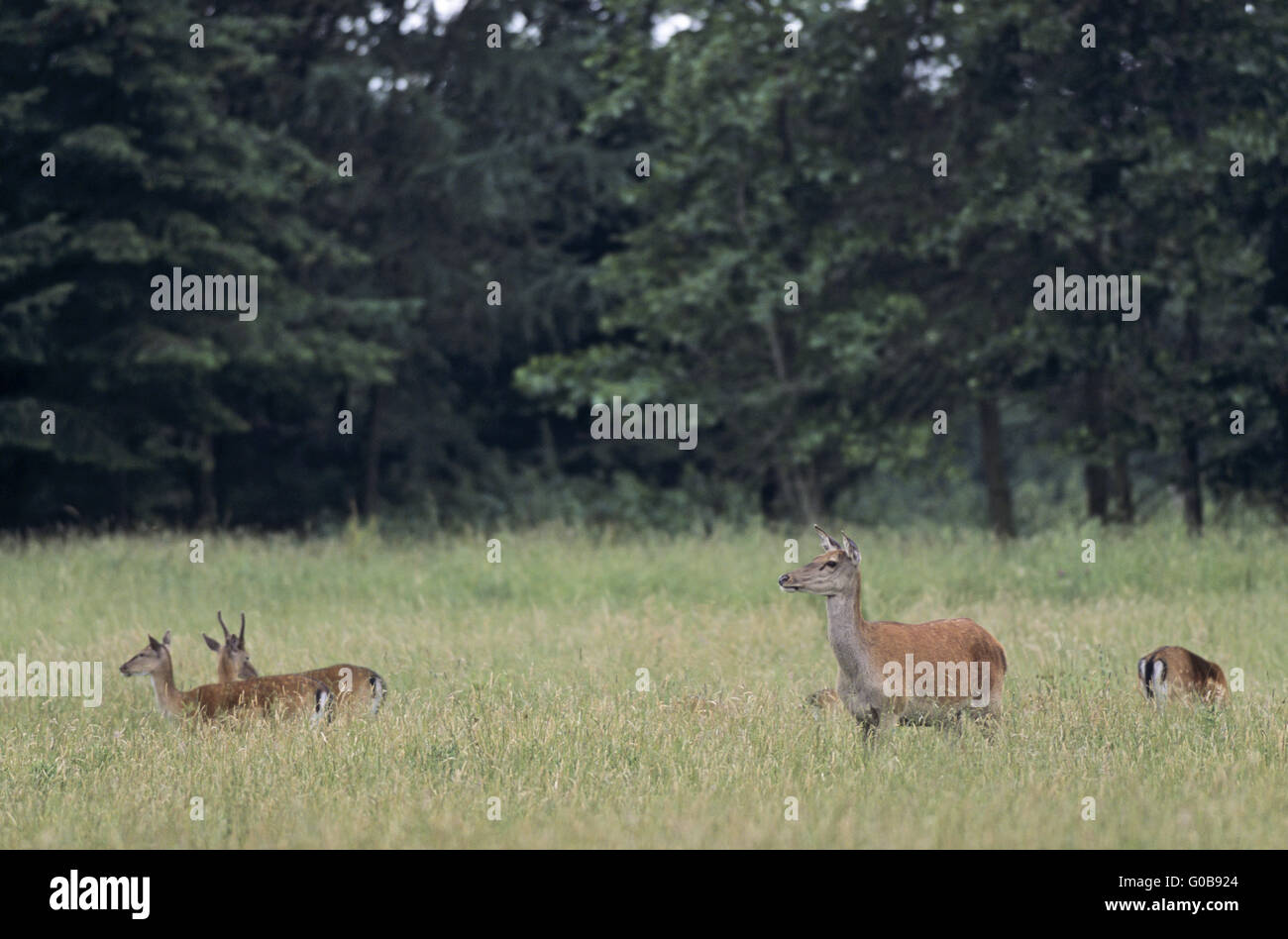 Red Deer hind and Fallow Deers in a forest meadow Stock Photo