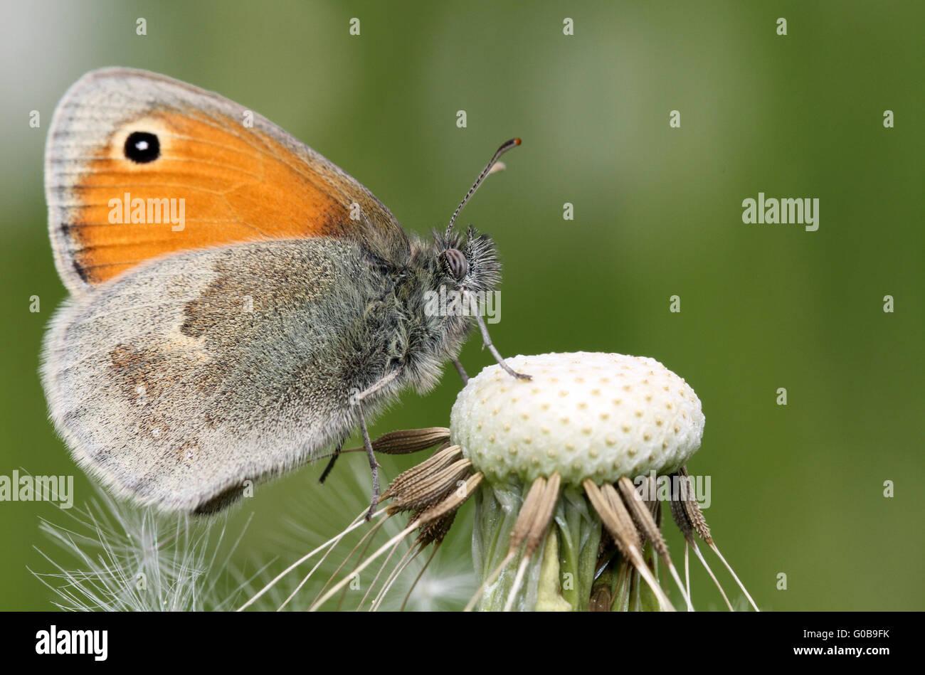 Coenonympha pamphilus - Stock Image