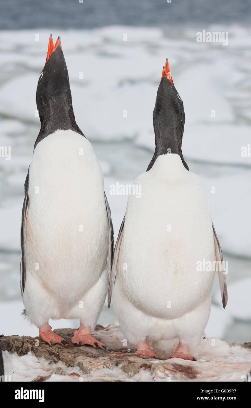 Two singing penguin - Stock Image