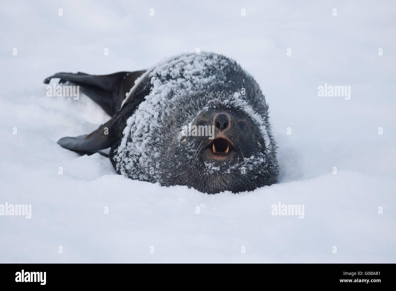 Fur Seal, who growls. - Stock Image