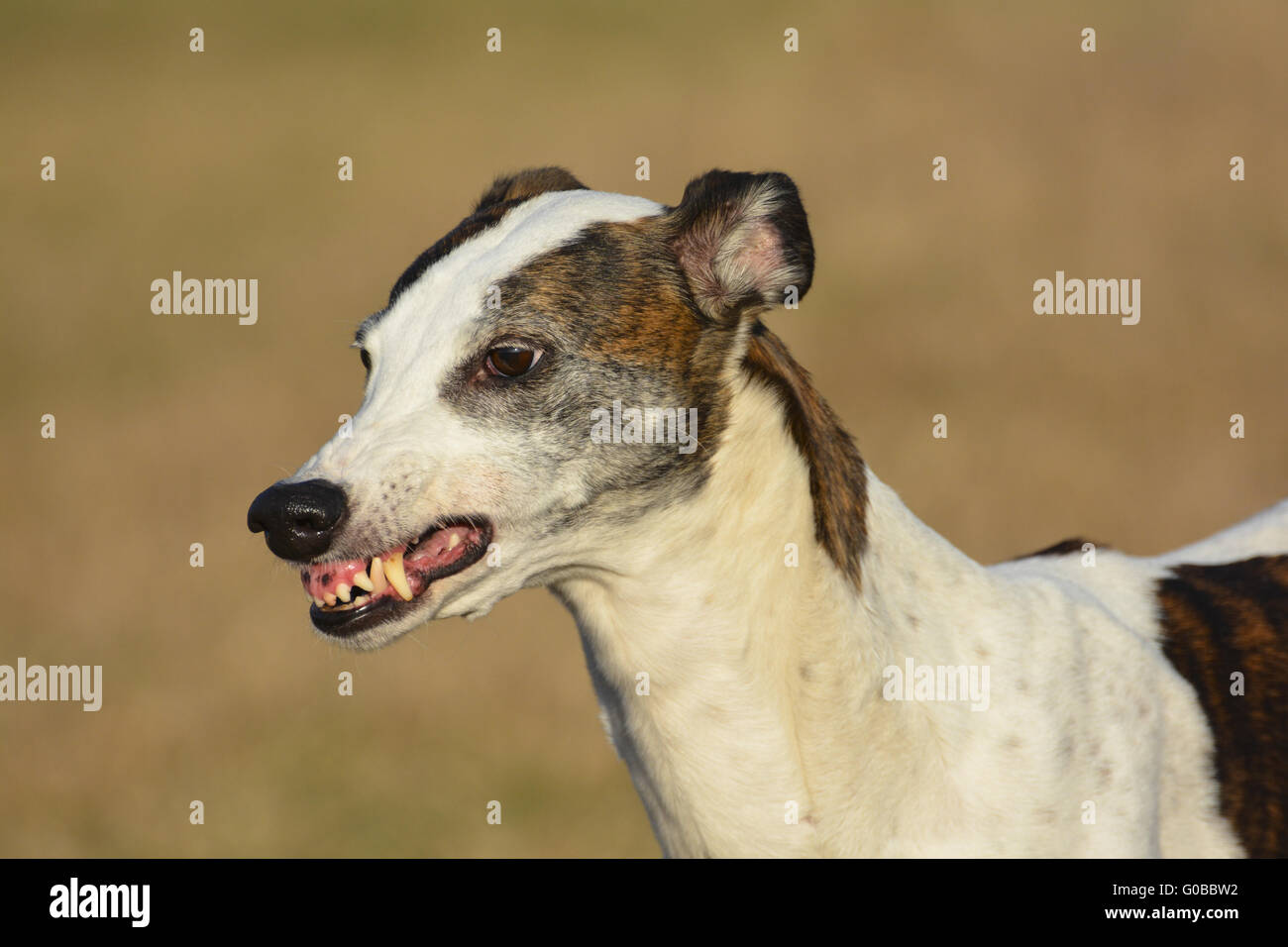 Threat of a dog Stock Photo