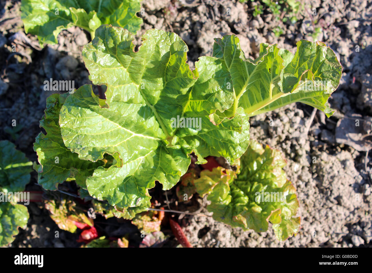 Young sprouts of a rhubarb progrown from the groun Stock Photo