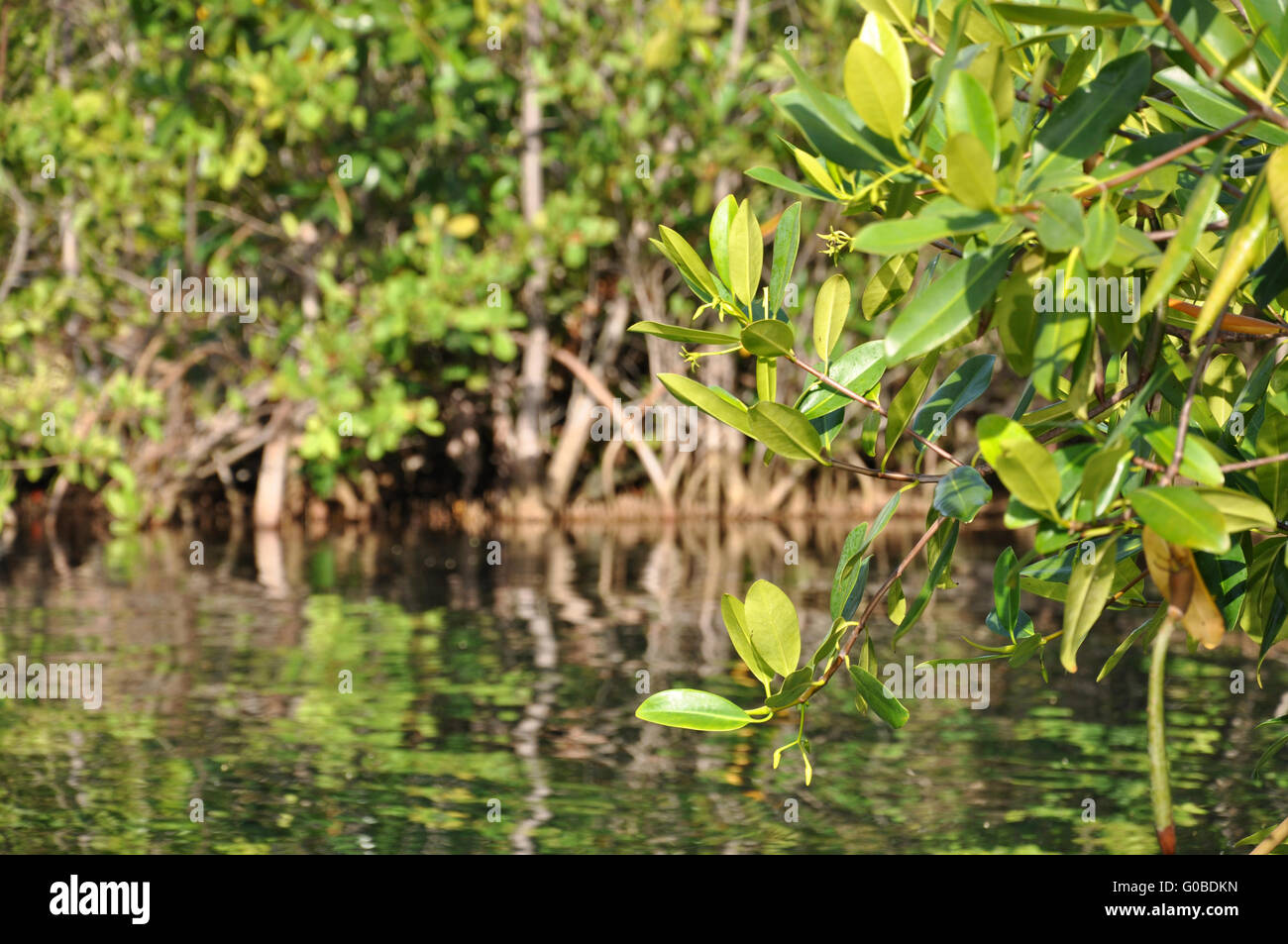 Mexican Mangroves Stock Photo