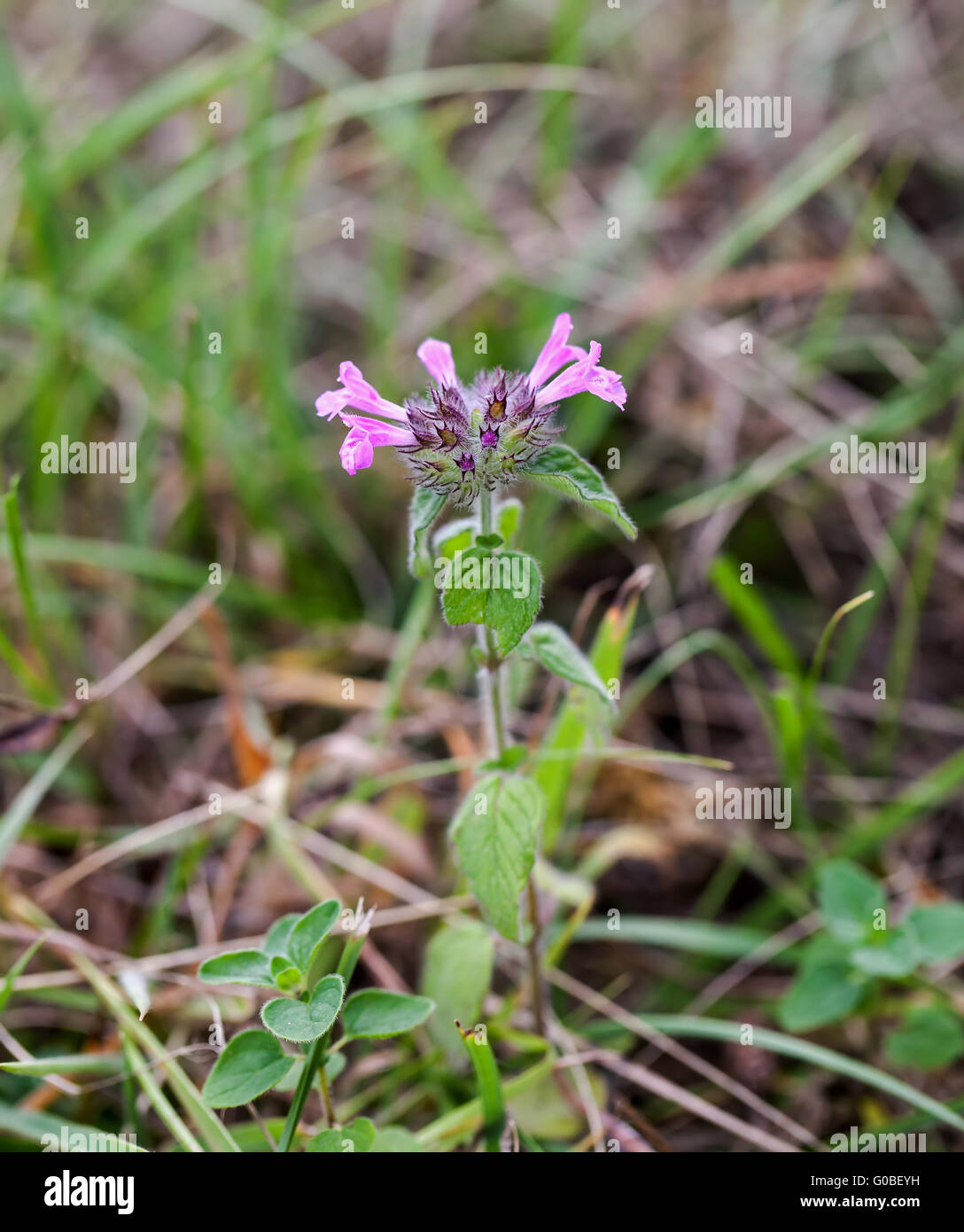 Wild flower Wild Basil growing on chalk downland the South Downs in Sussex - Stock Image