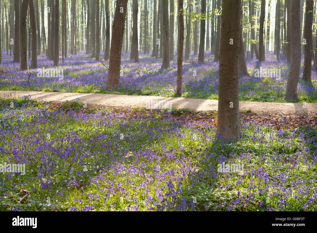 path in Halle forest with bluebell flowers, Belgium - Stock Image