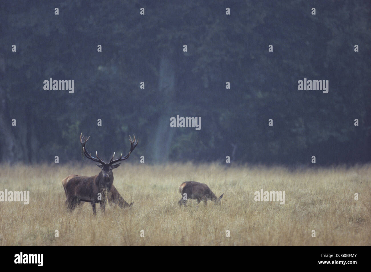Red Deer stag and hinds in rain on a forest glade Stock Photo