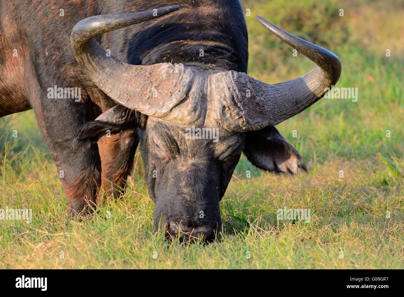 African buffalo or Cape buffalo (Syncerus caffer), grazing, Addo National Park, Eastern Cape, South Africa, Africa - Stock Image