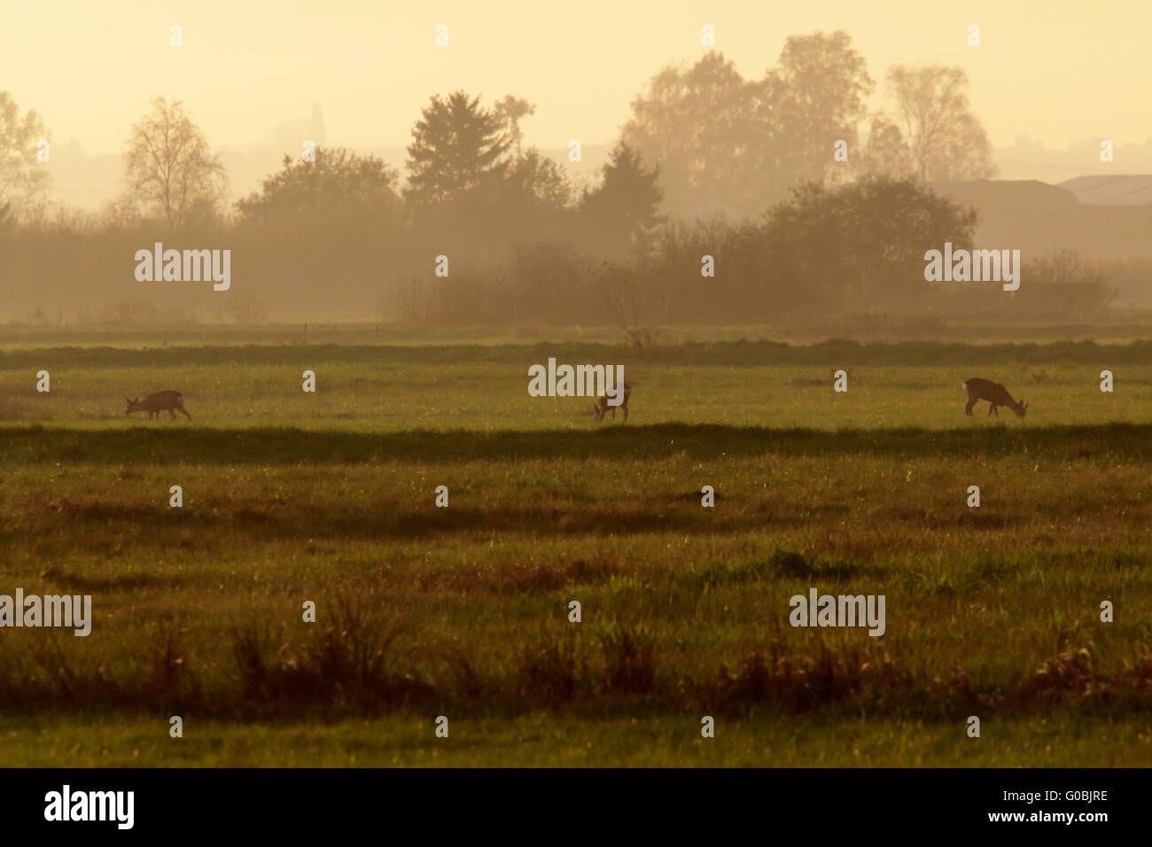 Roe deer in south Bavarian autumn landsscape, Ger Stock Photo