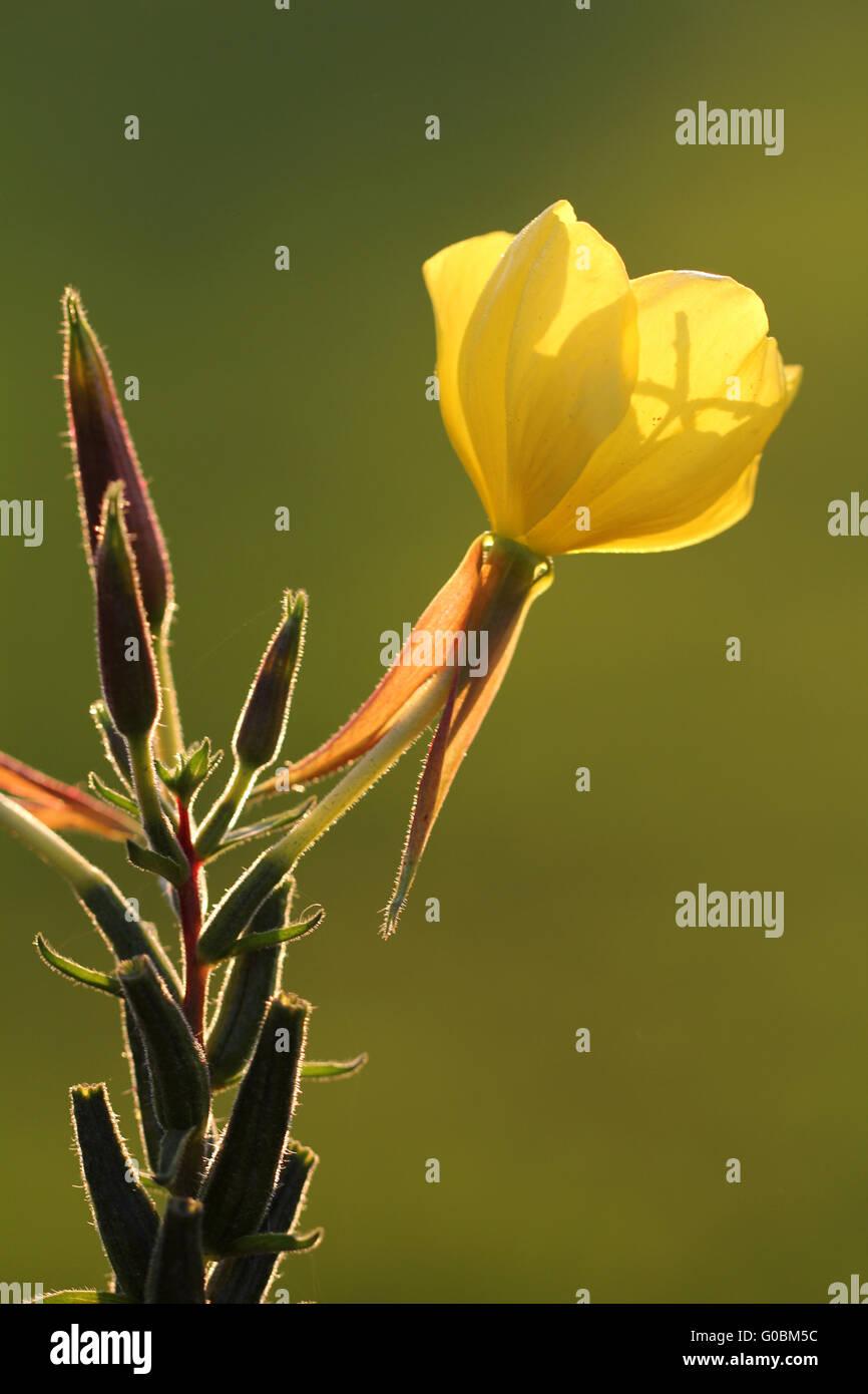 common evening-primrose, evening star, sun drop - Stock Image