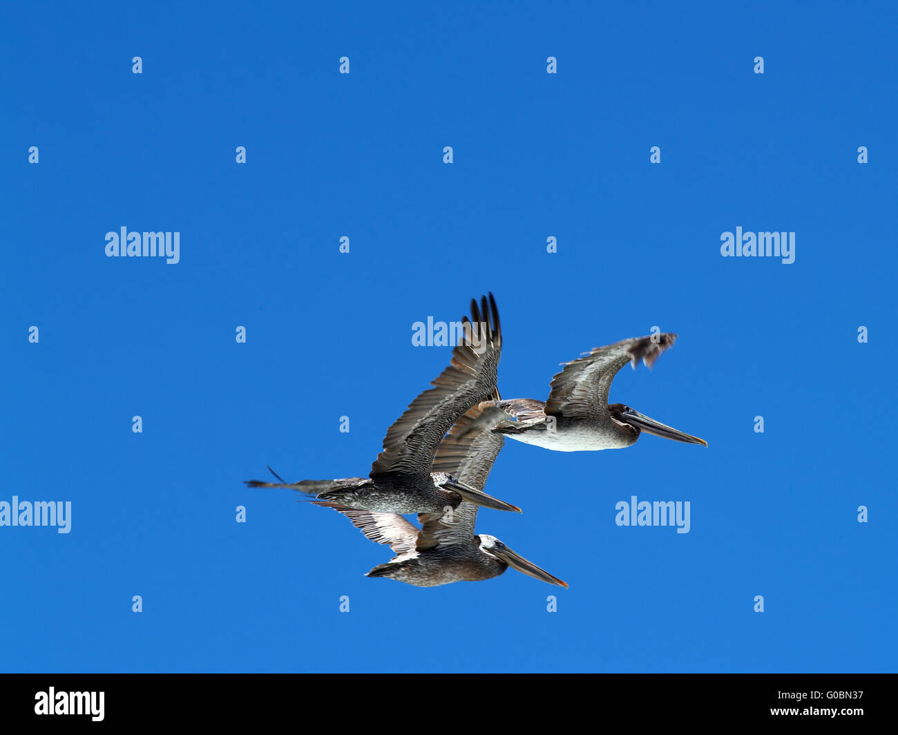 Three Pelicans In Flight Against Blue Sky - Stock Image