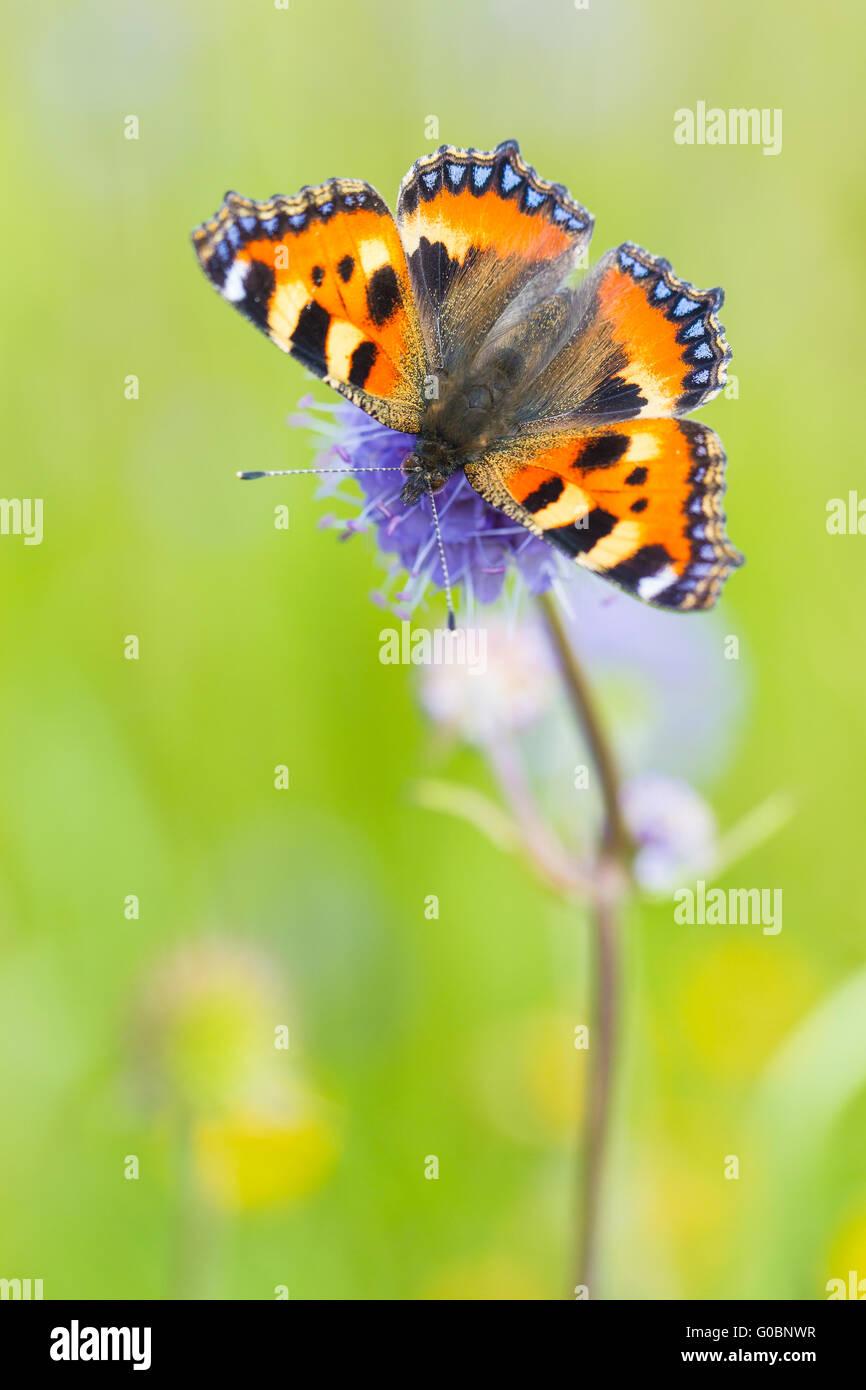 Small tortoiseshell (butterfly) - Stock Image