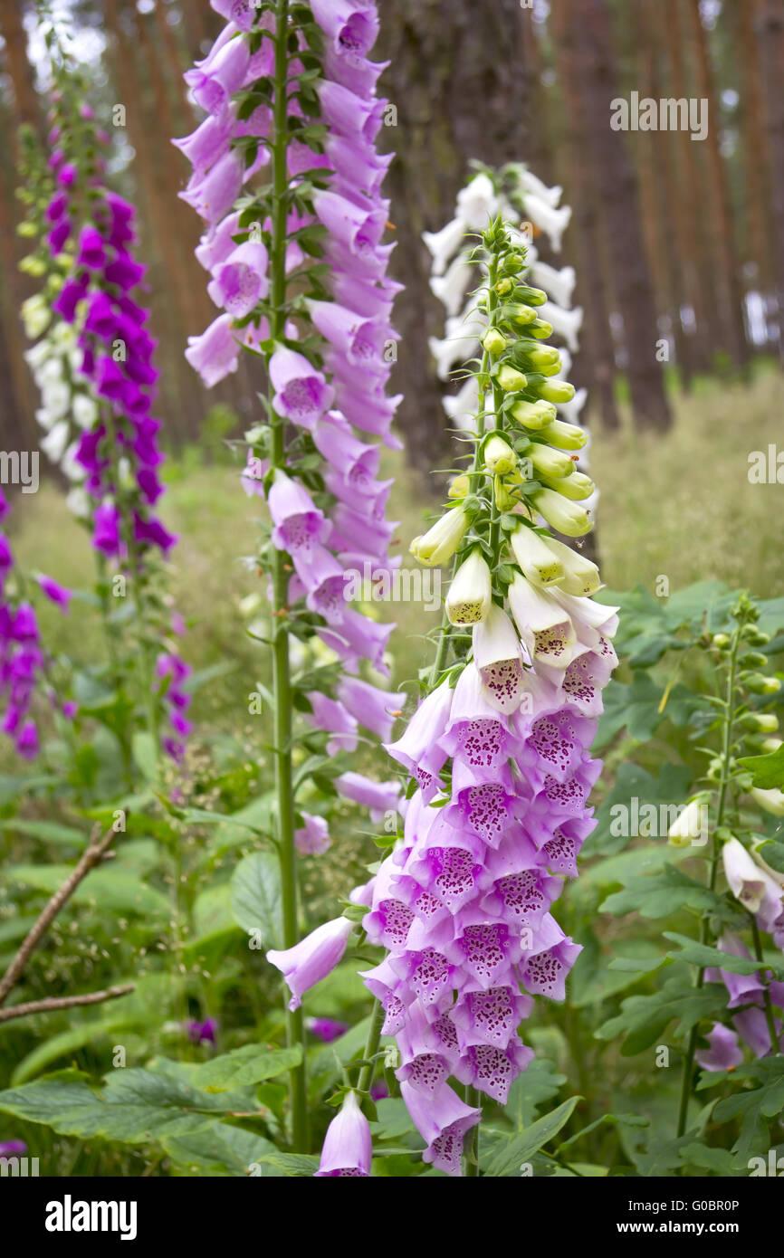 Purple Foxglove Flower - Stock Image