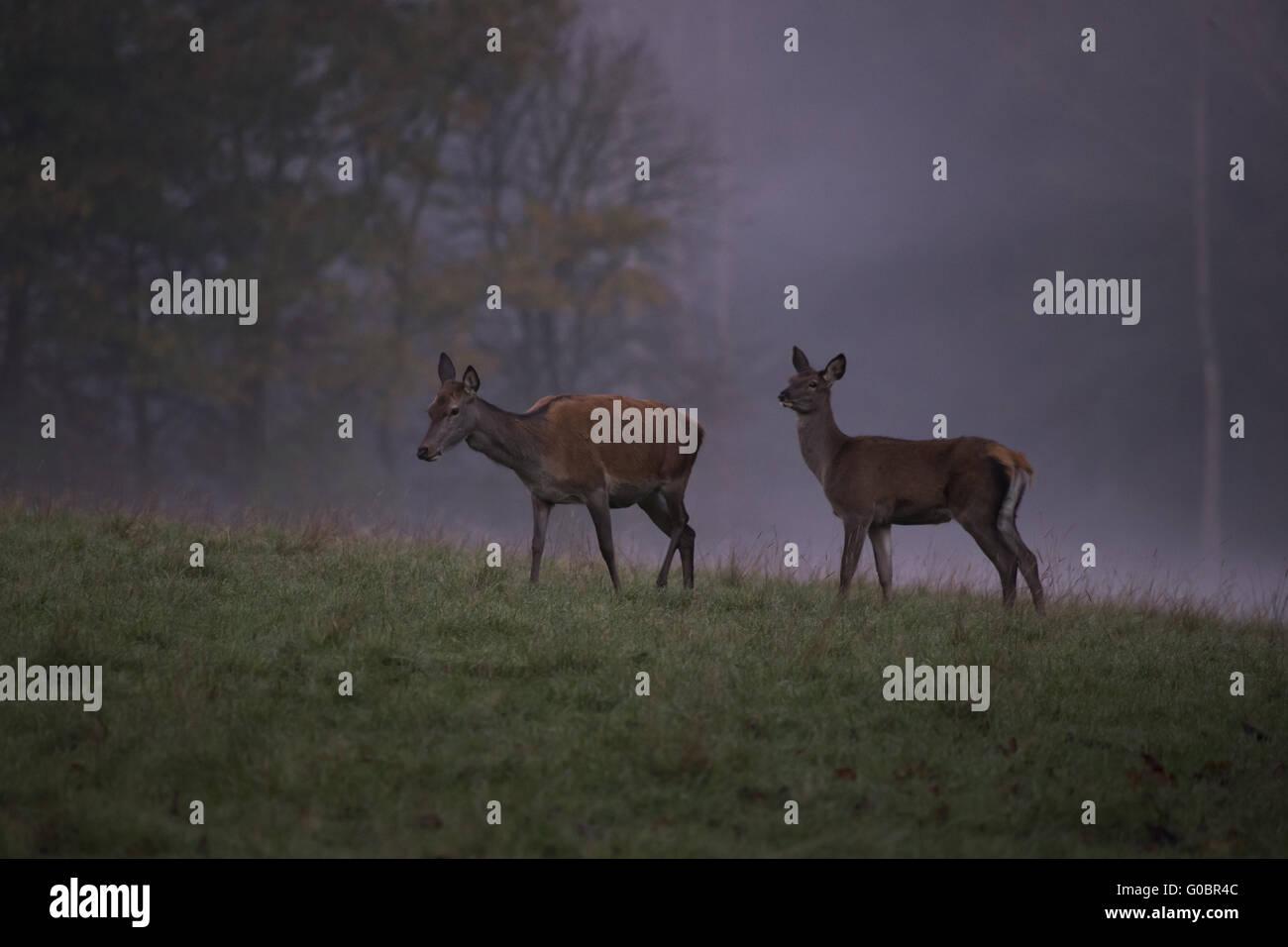 red deer in the morning fog Stock Photo