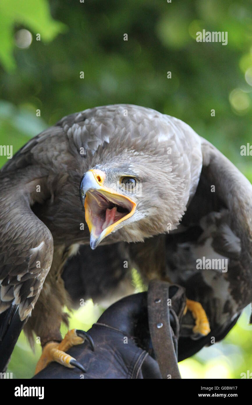 eagle II Stock Photo
