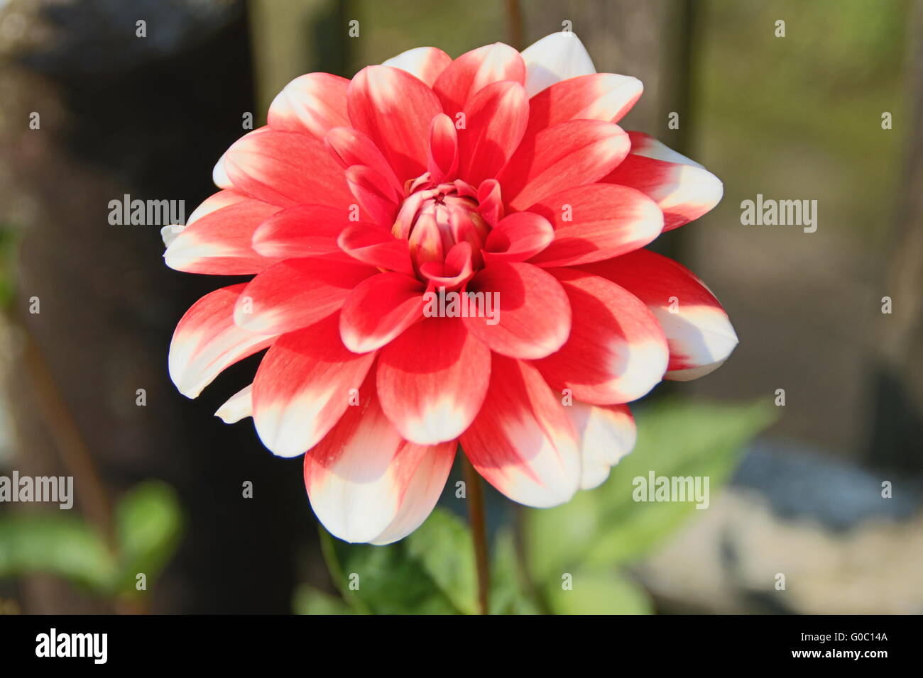A red dahlia bloom - Stock Image