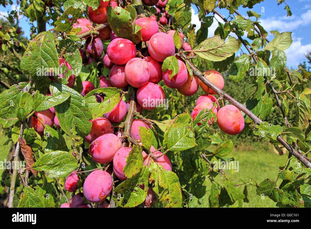 Plums in a branch - Stock Image