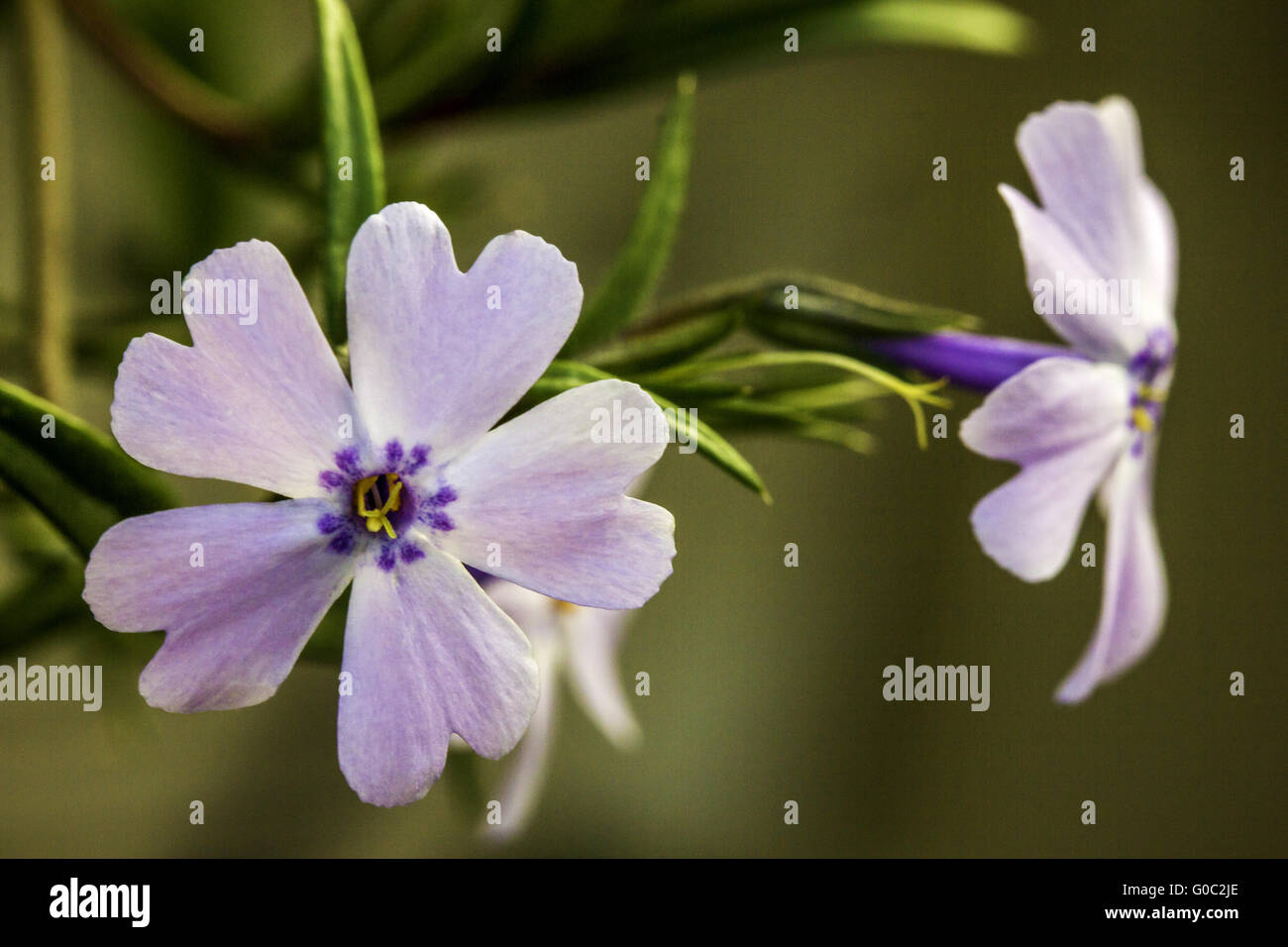 Closeup of a Pretty Pink and Purple Flower with Green Bokeh Background - Stock Image