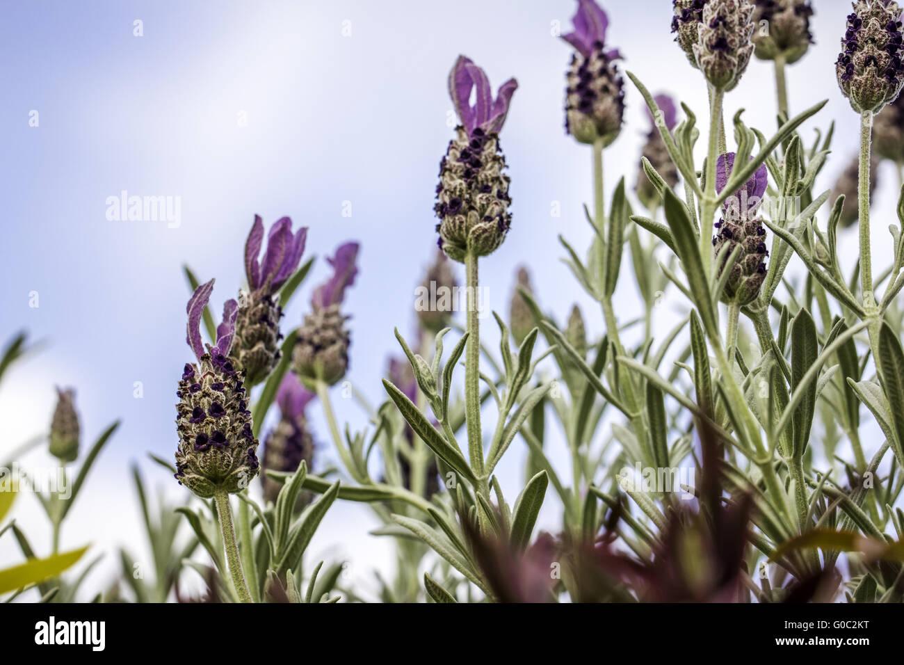 Lavender Flowers Against Blue Sky Background - Stock Image