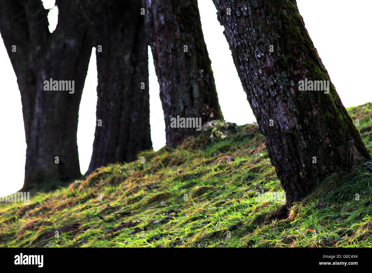 Trunks of Old Fruit Trees - Stock Image