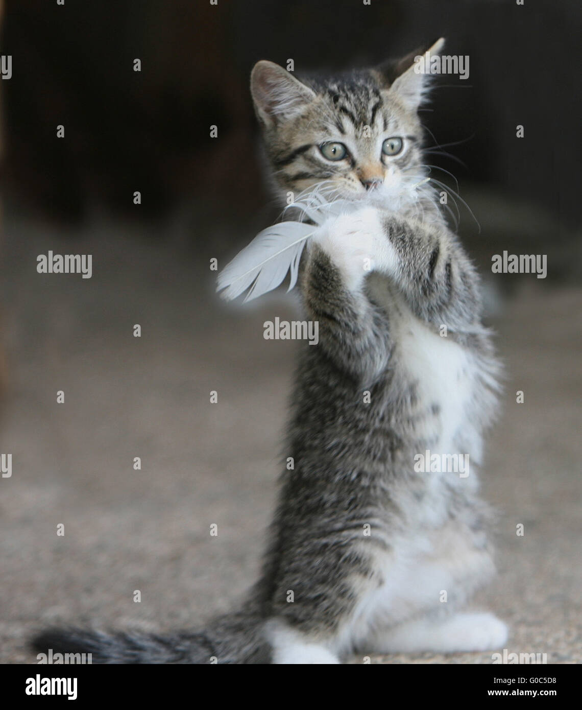 Baby Kitten - Stock Image