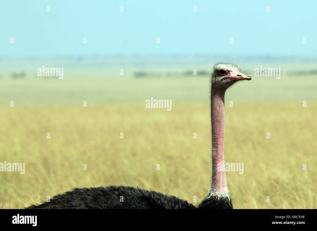 Ostrich - Stock Image