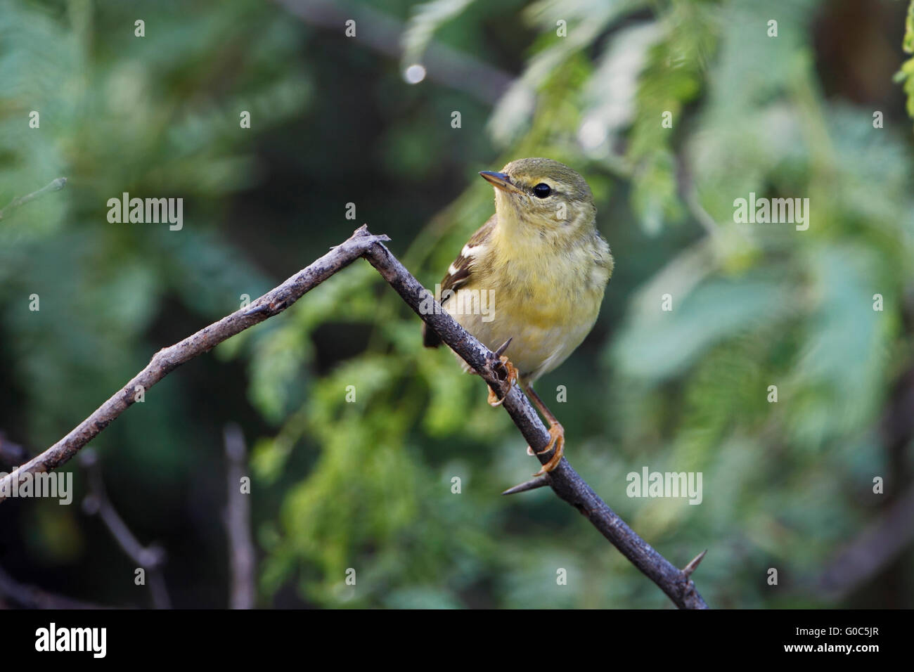 Blackpoll Warbler (Setophaga striata) female on branch, Guanica Dry Forest, Puerto Rico - Stock Image
