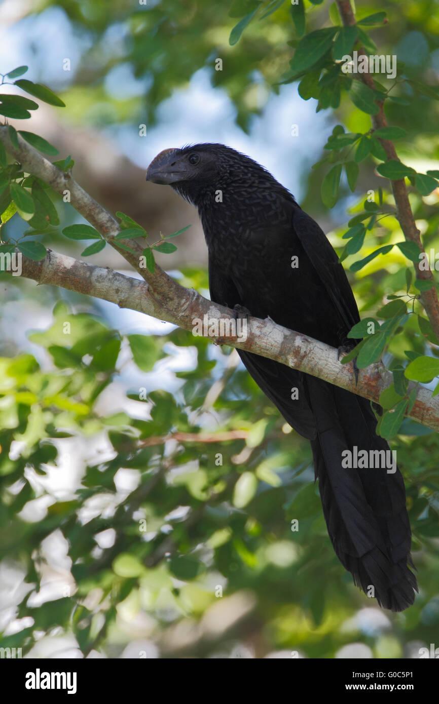 Smooth-billed ani (Crotophaga ani) sitting on branch, Laguna Cartegena, Puerto Rico - Stock Image