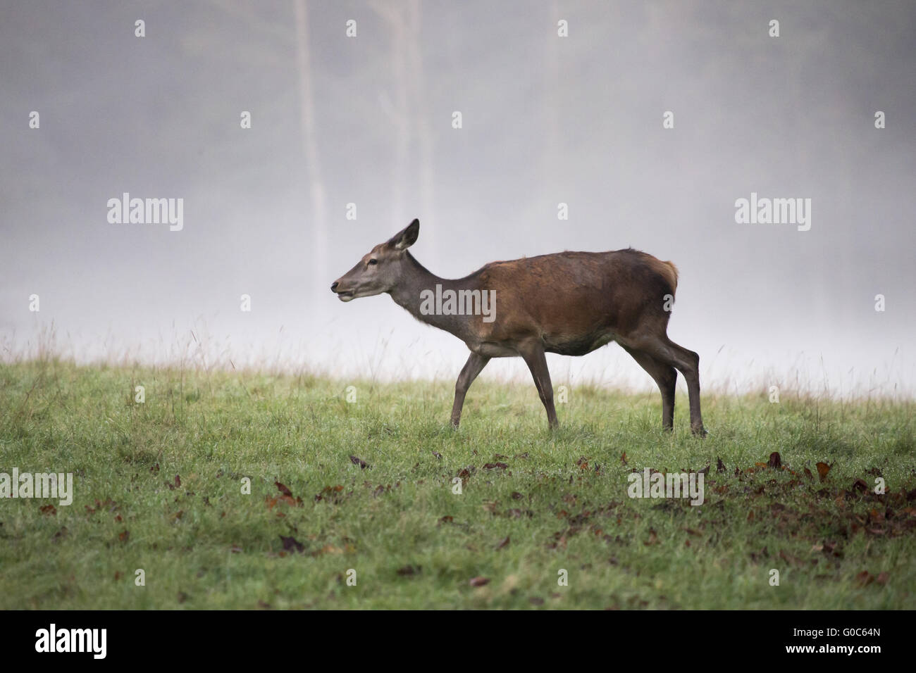 one reed deer female in the fog Stock Photo