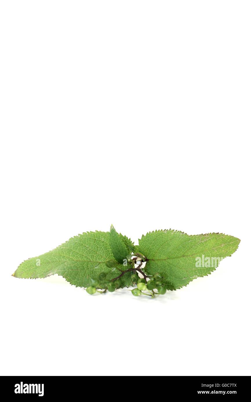 fresh green healing Bei Xuan Shen - Stock Image