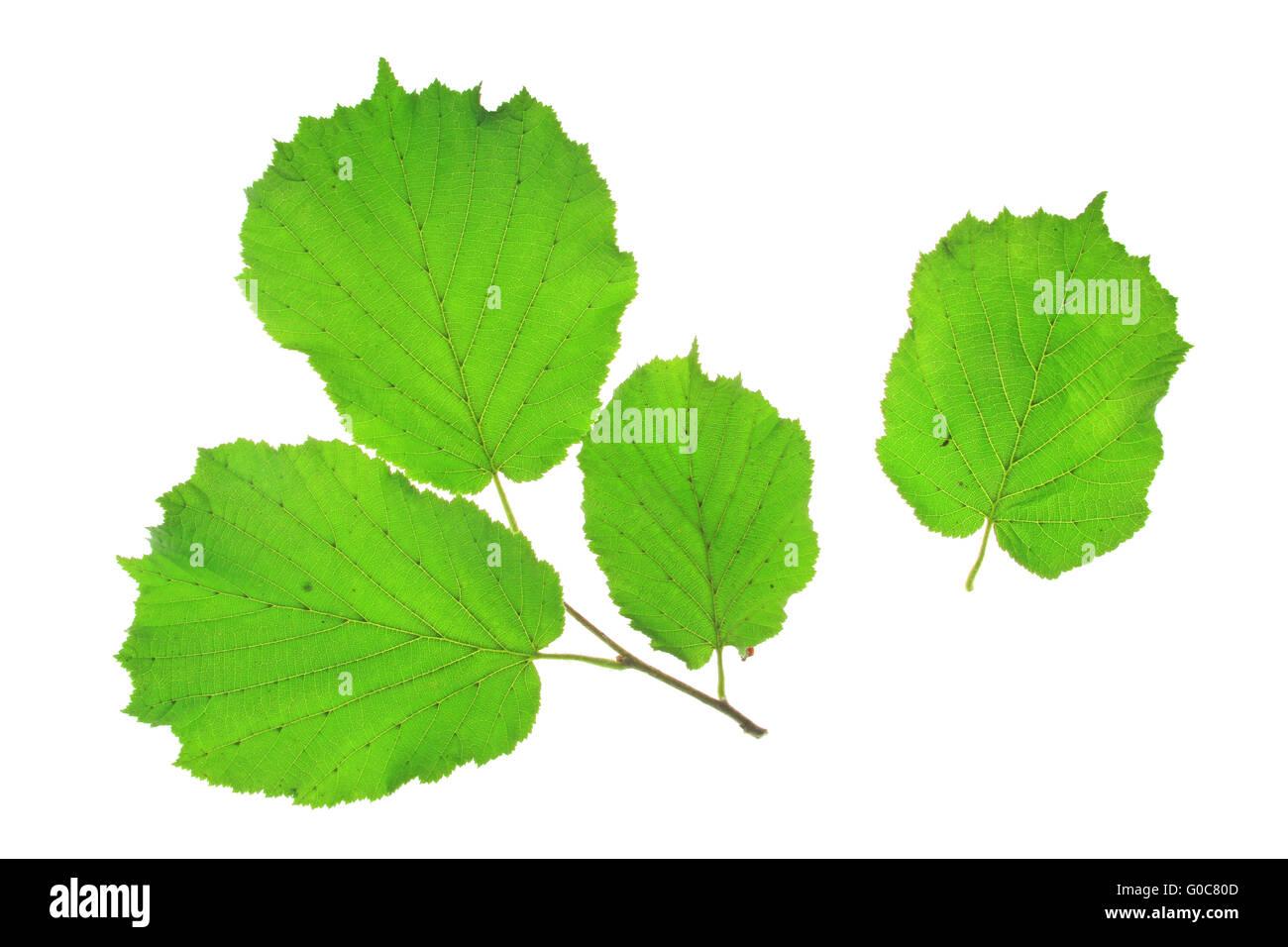 Little twig of the hazel tree (Corylus avellana) - Stock Image