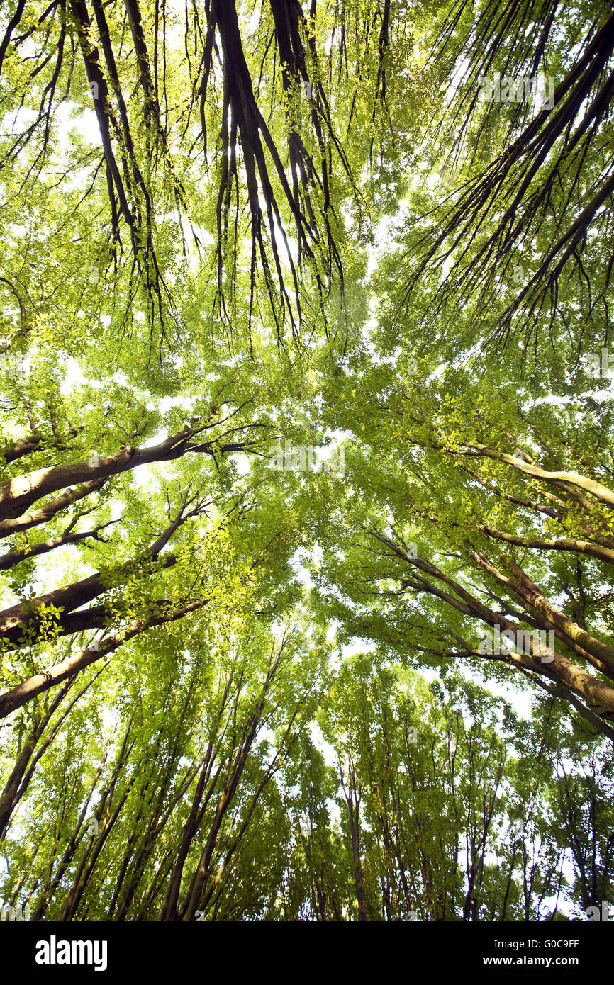 looking up to tree crowns of hornbeams - Stock Image