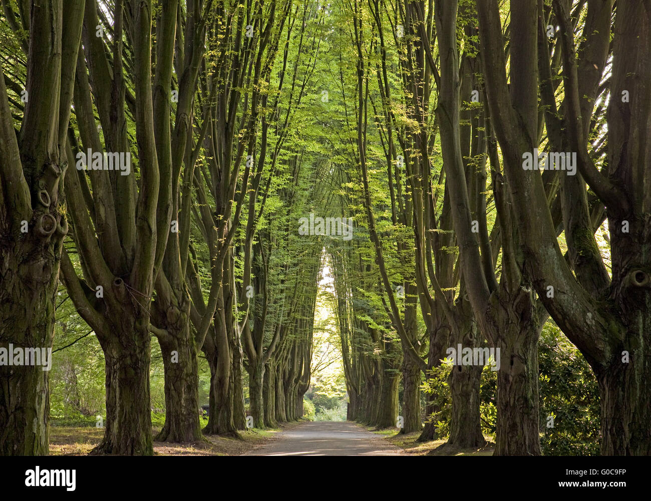 alley of hornbeams, Dortmund, Germany - Stock Image