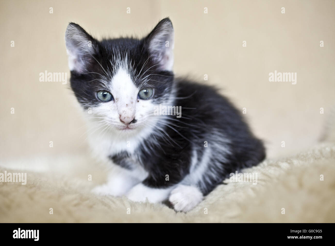 domestic cat, house cat, portrait of a kitty - Stock Image