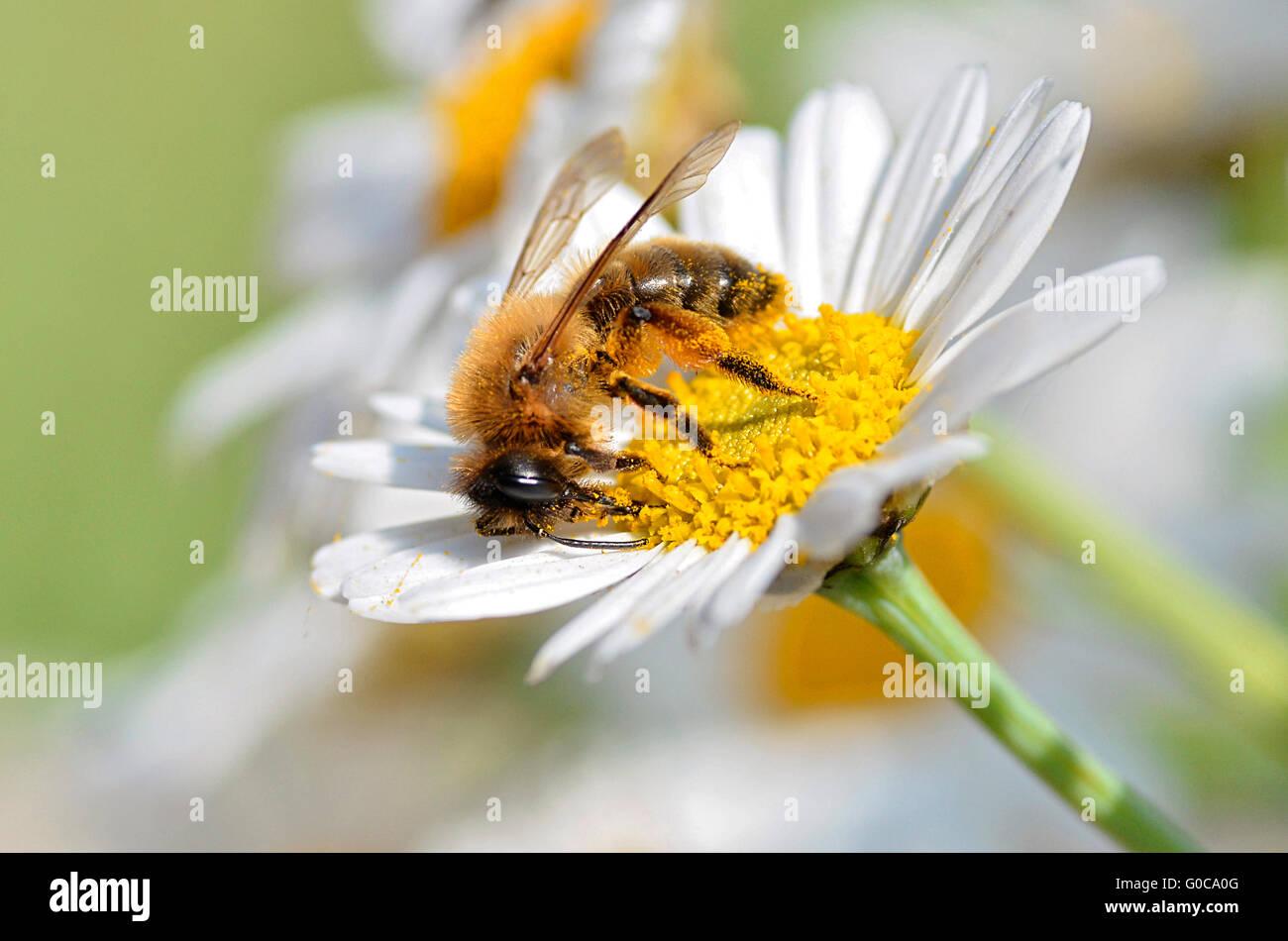 Macro of honey bee (Apis) feeding on white anthemis flower seen of profile - Stock Image