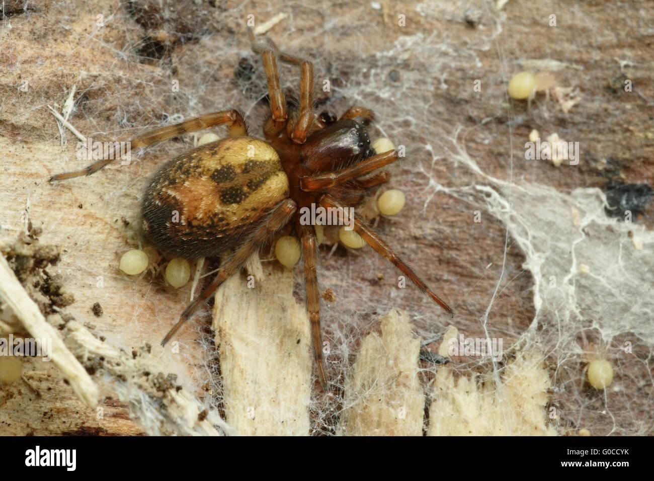 Dangeros nursery - Lace webbed spider - Stock Image