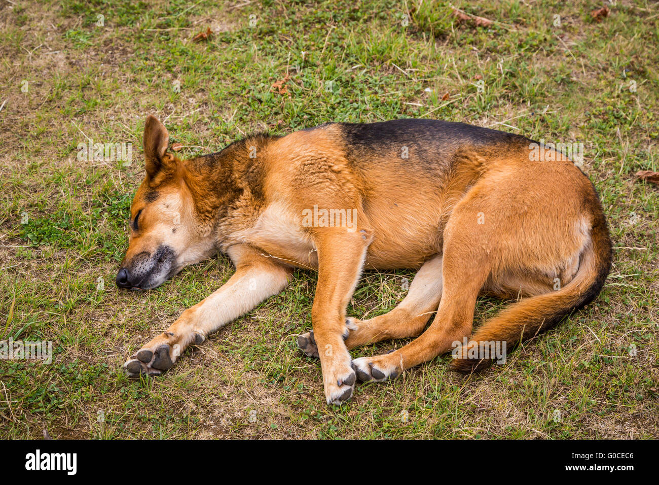 A dog sleeping on the grass in Dalcahue, Chile, South America. - Stock Image