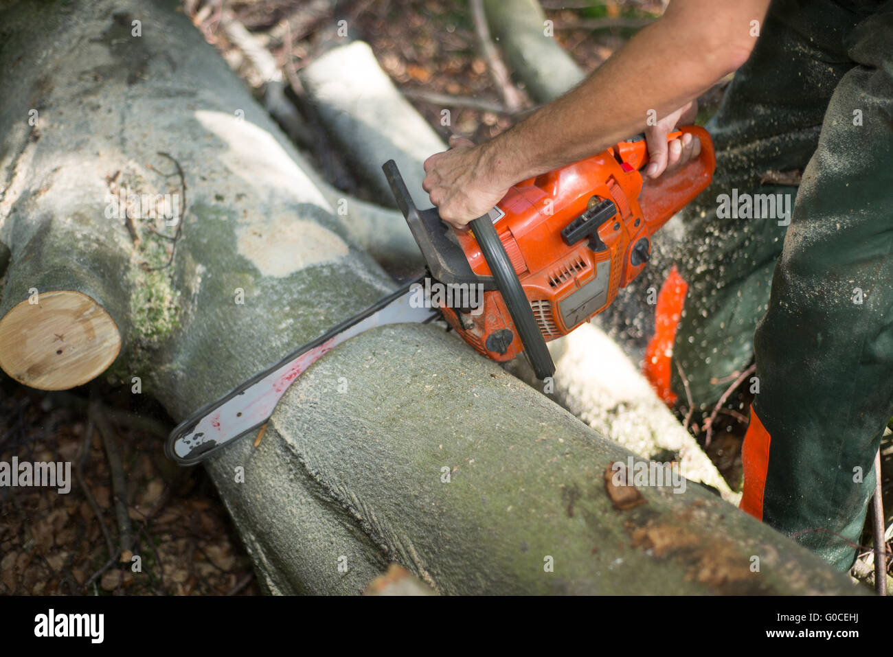 lumberjack with hardhat sawing wood in forest - Stock Image